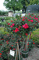 Knock Out® Rose Tree (Rosa 'Radrazz') at Platt Hill Nursery