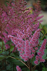 Maggie Daley Astilbe (Astilbe chinensis 'Maggie Daley') at Platt Hill Nursery