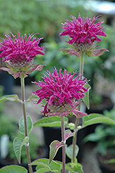 Purple Rooster Beebalm (Monarda 'Purple Rooster') at Platt Hill Nursery