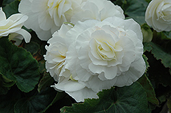 Nonstop® White Begonia (Begonia 'Nonstop White') at Platt Hill Nursery