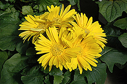 Yellow Gerbera Daisy (Gerbera 'Yellow') at Platt Hill Nursery