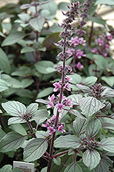 African Blue Basil (Ocimum 'African Blue') at Platt Hill Nursery