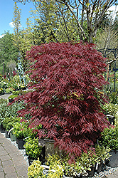 Red Dragon Japanese Maple (Acer palmatum 'Red Dragon') at Platt Hill Nursery