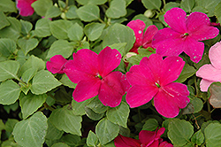 Super Elfin® Violet Impatiens (Impatiens walleriana 'Super Elfin Violet') at Platt Hill Nursery