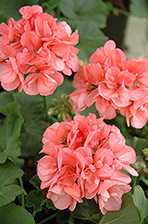 Patriot Salmon Geranium (Pelargonium 'Patriot Salmon') at Platt Hill Nursery
