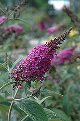 Miss Ruby Butterfly Bush (Buddleia davidii 'Miss Ruby') at Platt Hill Nursery