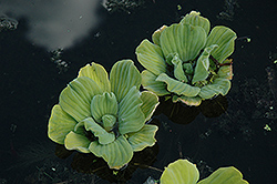 Water Lettuce (Pistia stratiotes) at Platt Hill Nursery