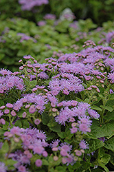 Artist Blue Flossflower (Ageratum 'Artist Blue') at Platt Hill Nursery