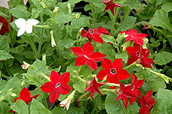 Saratoga Mix Flowering Tobacco (Nicotiana 'Saratoga Mix') at Platt Hill Nursery