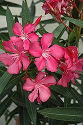 Oleander (Nerium oleander) at Platt Hill Nursery