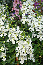 Serena White Angelonia (Angelonia angustifolia 'Serena White') at Platt Hill Nursery