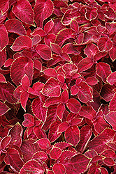 Wizard Velvet Red Coleus (Solenostemon scutellarioides 'Wizard Velvet Red') at Platt Hill Nursery