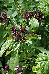 Siam Queen Basil (Ocimum basilicum 'Siam Queen') at Platt Hill Nursery
