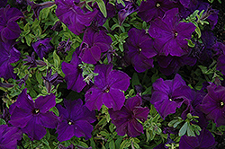 Dreams Midnight Petunia (Petunia 'Dreams Midnight') at Platt Hill Nursery