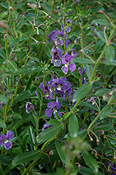 Angelface® Dresden Blue Angelonia (Angelonia angustifolia 'Angelface Dresden Blue') at Platt Hill Nursery
