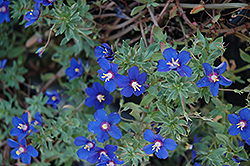 Angie Blue Pimpernel (Anagallis monelli 'Angie Blue') at Platt Hill Nursery