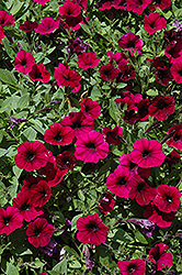 Shock Wave Deep Purple Petunia (Petunia 'Shock Wave Deep Purple') at Platt Hill Nursery
