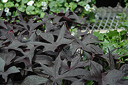 Blackie Sweet Potato Vine (Ipomoea batatas 'Blackie') at Platt Hill Nursery
