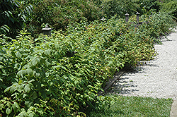 Heritage Raspberry (Rubus 'Heritage') at Platt Hill Nursery