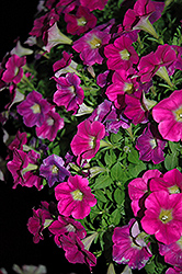 Sweetunia Hot Pink Lemonade Petunia (Petunia 'Sweetunia Hot Pink Lemonade') at Platt Hill Nursery