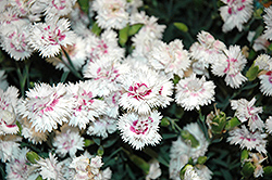 EverLast™ White plus Eye Pinks (Dianthus 'EverLast White plus Eye') at Platt Hill Nursery