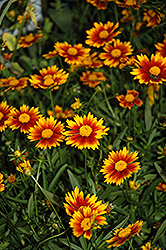 Lil' Bang™ Daybreak Tickseed (Coreopsis 'Daybreak') at Platt Hill Nursery