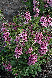 Angelface® Deep Pink Angelonia (Angelonia angustifolia 'Angelface Deep Pink') at Platt Hill Nursery