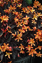 Sparks Will Fly Begonia (Begonia 'Sparks Will Fly') at Platt Hill Nursery