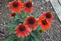 Sombrero® Flamenco Orange Coneflower (Echinacea 'Balsomenco') at Platt Hill Nursery
