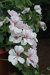 Precision White Red Eye Ivy Leaf Geranium (Pelargonium peltatum 'Precision White Red Eye') at Platt Hill Nursery