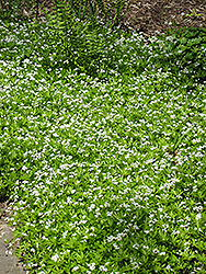 Sweet Woodruff (Galium odoratum) at Platt Hill Nursery