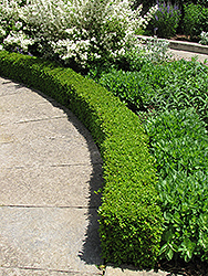 Green Velvet Boxwood (Buxus 'Green Velvet') at Platt Hill Nursery