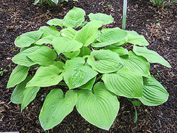 August Moon Hosta (Hosta 'August Moon') at Platt Hill Nursery