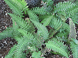 Rabbit's Foot Fern (Polypodium aureum) at Platt Hill Nursery