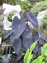 Black Magic Elephant Ear (Colocasia esculenta 'Black Magic') at Platt Hill Nursery