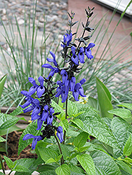 Black And Blue Anise Sage (Salvia guaranitica 'Black And Blue') at Platt Hill Nursery
