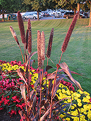 Purple Majesty Millet (Pennisetum glaucum 'Purple Majesty') at Platt Hill Nursery