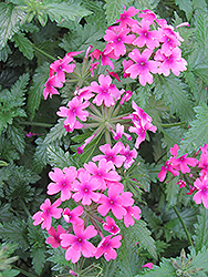 Lanai® Bright Eye Verbena (Verbena 'Lanai Bright Eye') at Platt Hill Nursery