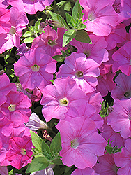 Easy Wave® Pink Petunia (Petunia 'Easy Wave Pink') at Platt Hill Nursery