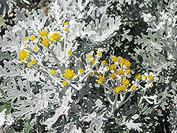 Silver Dust Dusty Miller (Senecio cineraria 'Silver Dust') at Platt Hill Nursery