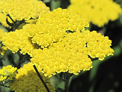 Moonshine Yarrow (Achillea 'Moonshine') at Platt Hill Nursery