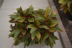 Siam Aurora Chinese Evergreen (Aglaonema 'Siam Aurora') at Platt Hill Nursery