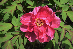 Houki Tree Peony (Paeonia suffruticosa 'Houki') at Platt Hill Nursery