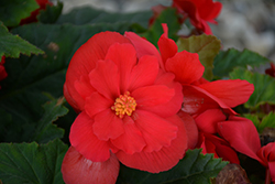 Nonstop® Red Begonia (Begonia 'Nonstop Red') at Platt Hill Nursery