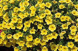 Cabaret® Deep Yellow Calibrachoa (Calibrachoa 'Cabaret Deep Yellow') at Platt Hill Nursery