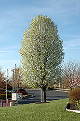 Chanticleer Ornamental Pear (Pyrus calleryana 'Chanticleer') at Platt Hill Nursery