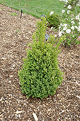 Green Mountain Boxwood (Buxus 'Green Mountain') at Platt Hill Nursery