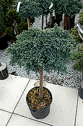 Blue Star Juniper (Juniperus squamata 'Blue Star (tree form)') at Platt Hill Nursery