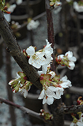 Stella Cherry (Prunus avium 'Stella') at Platt Hill Nursery