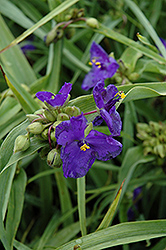 Zwanenburg Blue Spiderwort (Tradescantia x andersoniana 'Zwanenburg Blue') at Platt Hill Nursery